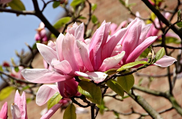 A rare sight for us Finns - gorgeous magnolia trees!